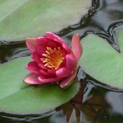 Восемь основных причин слабого цветения нимфеи в декоративном бассейне