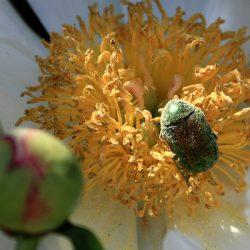Бронзовка золотистая — большой зеленый жук, враг цветоводов