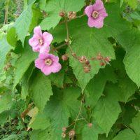 Малина душистая украшает участок и дает урожай вполне съедобных ягод
