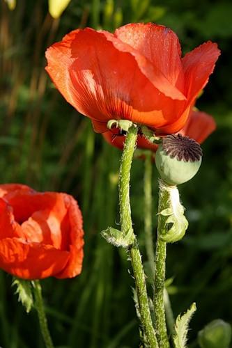 Как выращивать маки на садовом участке из семян? Посадка и уход за растением на ydoo.info