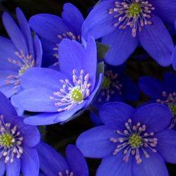 Печеночница благородная – апрельский первоцвет