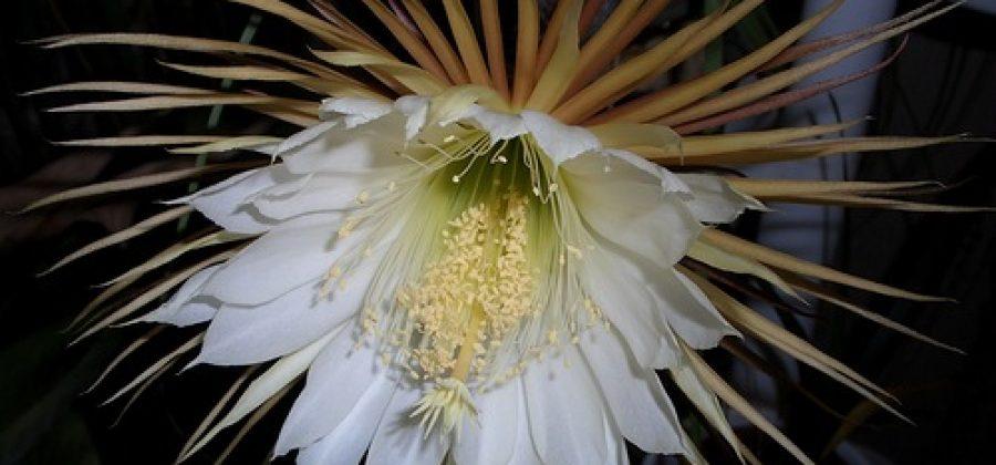 Цветение селеницереуса «Царица ночи»