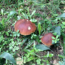 Белый гриб, ложный белый и другие двойники, рецепты приготовления боровиков