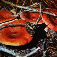 Горькушка — гриб IV категории, который можно солить