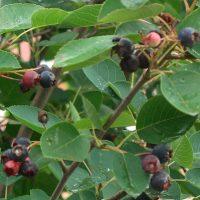Ирга на садовом участке: виды и уход