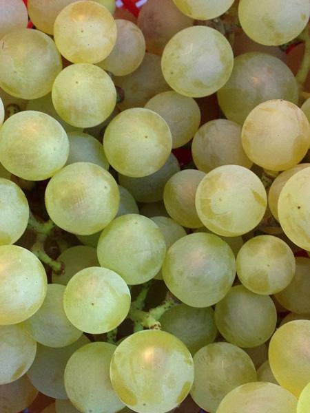 """Ягоды винограда сорта """"Кристалл"""""""