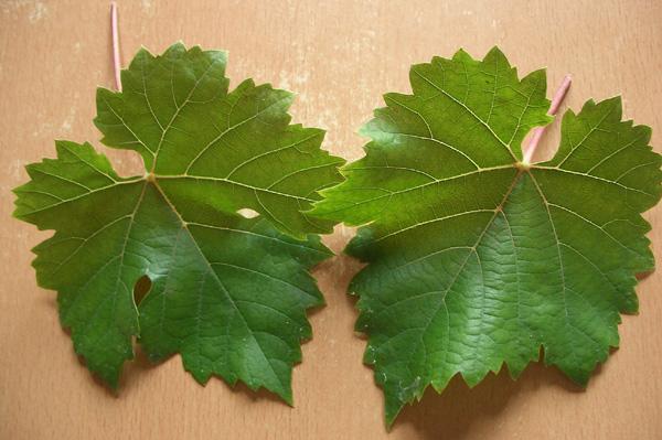 """Листья винограда сорта """"Кристалл"""""""