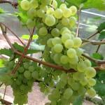 Сорт винограда «Кристалл», его описание и особенности