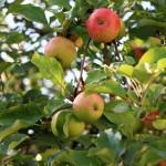 Варенье из яблок: только проверенные рецепты