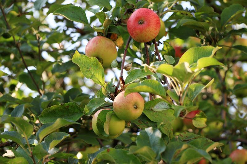 варенье из яблок коричное полосатое рецепт