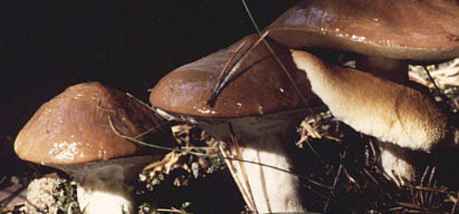 Масленок, описание видов, несъедобные маслята, рецепты приготовления