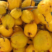 Японская айва: осенний уход и переработка урожая