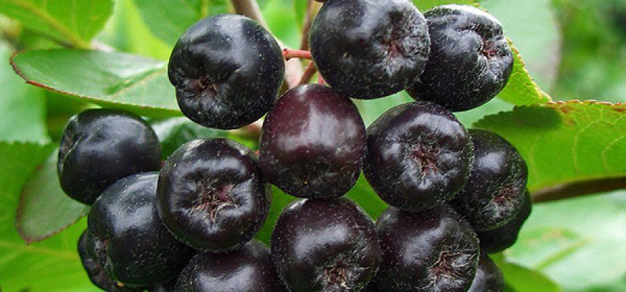 Плоды черноплодной рябины (аронии): лечебные свойства, рецепты и домашнее вино