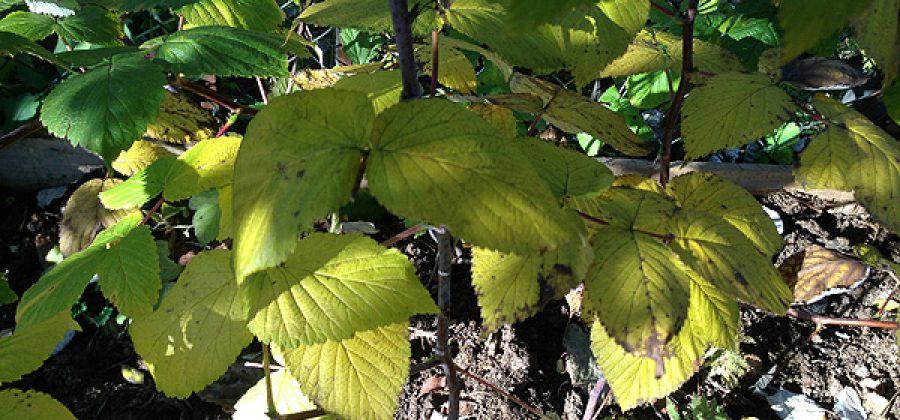 Уход за обыкновенной малиной осенью, особенности ремонтантной малины