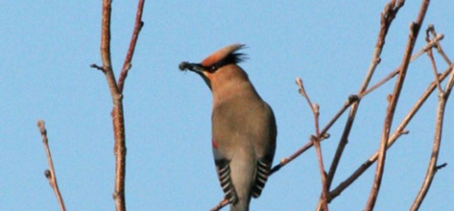 Амурский свиристель: описание птицы, ее поведение и зоны распространения