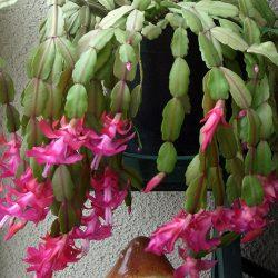Декабрист: описание, уход и причины слабого цветения