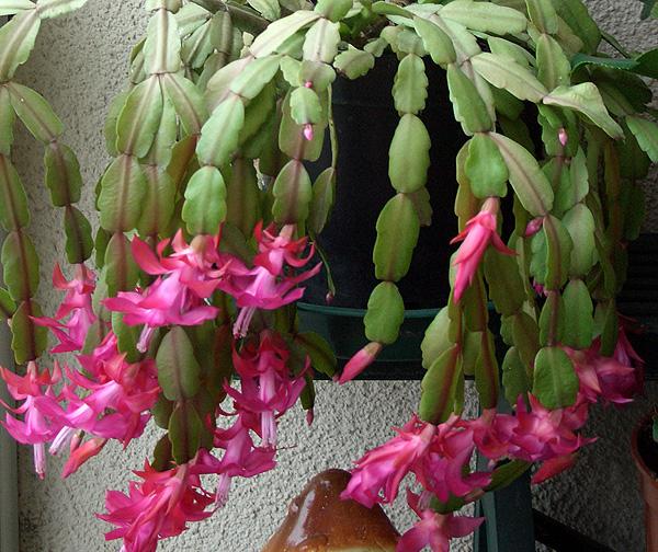 Доклад про цветок декабрист 8441