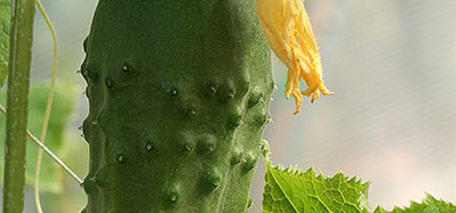 Огурцы в закрытом (защищённом) грунте