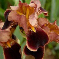 Бородатые ирисы от посадки деленок до цветения, лечение и некоторые ошибки выращивания