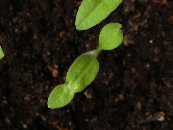 Деформированные семядоли