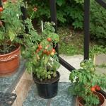 Балконные томаты: выращивание и описание сортов