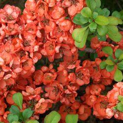 Хеномелес (японская айва) — идеальное растение для «ленивого дачника»