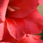 Как подготовить клубнелуковицы гладиолусов весной, сроки их посадки в цветнике