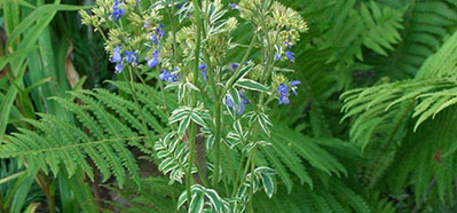 Синюха голубая (лазурная) украсит цветник и избавит от многих заболеваний