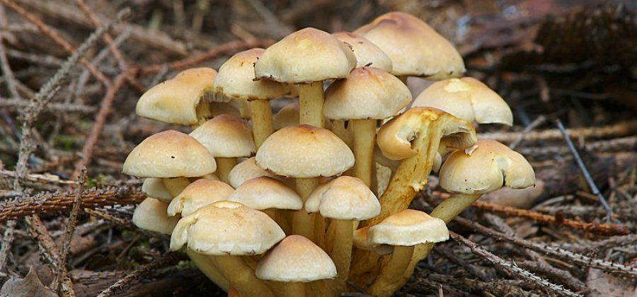 Ядовитый ложноопёнок серно-жёлтый — опасный гриб-двойник съедобных опят