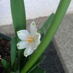 Белоцветник летний: выращивание в открытом грунте и очень простой вариант выгонки