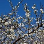 Почему плодовые деревья сбрасывают часть цветков или слабо цветут?