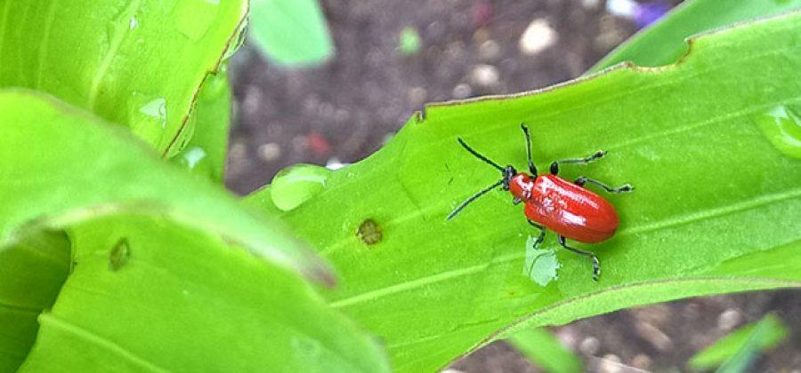 Что делать, если красные жучки объедают листья лилий?