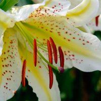 Осенняя и весенняя посадка луковиц лилий