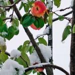 Как сохранить яблоки зимой в домашних условиях?
