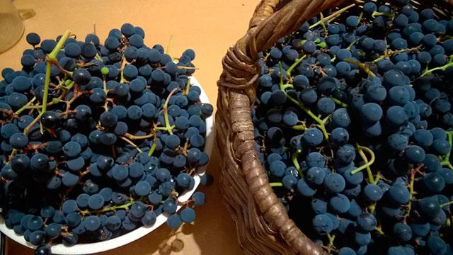 """Сорт """"Альфа"""", виноград"""