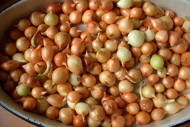 лук-севок, подзимние посевы овощей