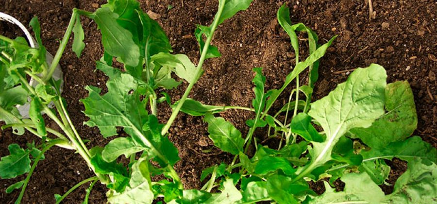 Подзимний посев овощных культур
