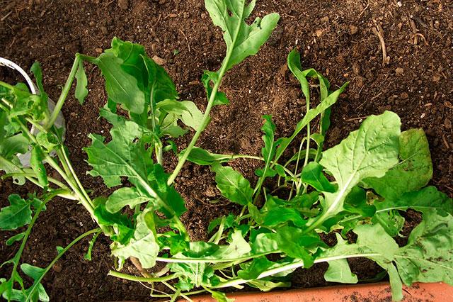 рукола, подзимние посевы овощей