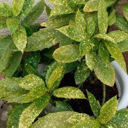Аукуба японская («колбасное дерево», «золотое дерево») в домашних условиях