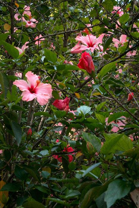 гибискус, массовое цветение
