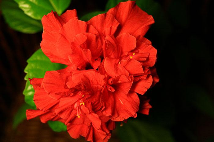 гибискус китайская роза, махровые цветки