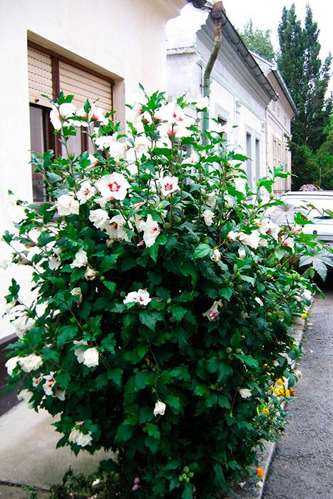 гибискус, цветущий куст в Белграде
