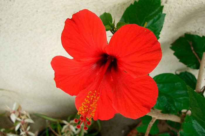 гибискус китайская роза, красный цветок