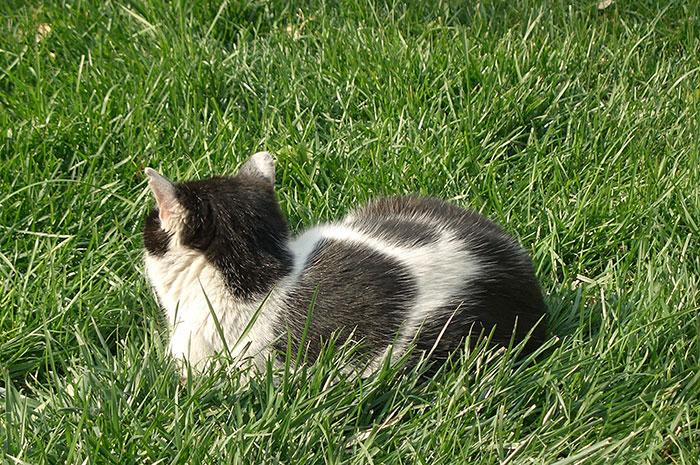 фото двухцветного кота: биколор, чёткие пятна