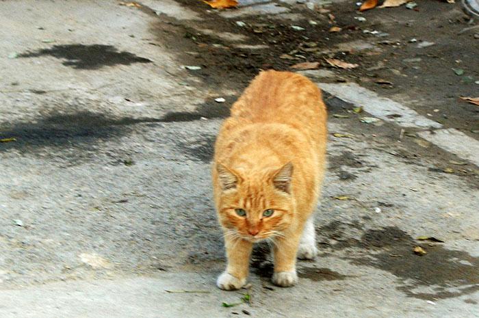 фото рыжего кота на дороге