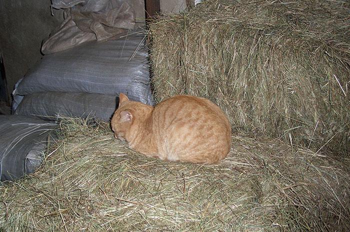 фото рыжего кота, кот на конюшне