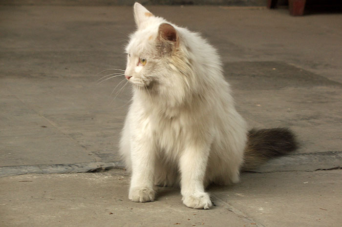 фото белого кота с серым хвостом