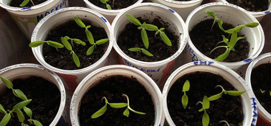 Когда лучше сеять семена томатов на рассаду: в феврале, марте или апреле?