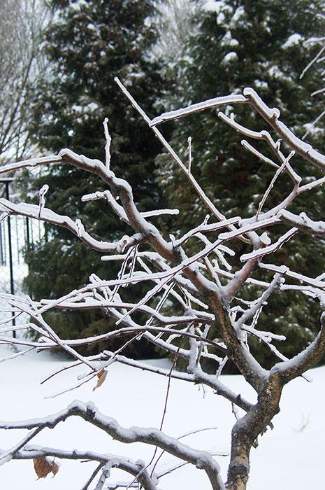 формирование берёз, ледяной дождь, берёза на участке, садовый бонсай из берёзы