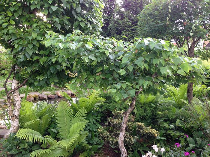 формирование кроны берёзы, создание садового бонсая, обрезка берёзок